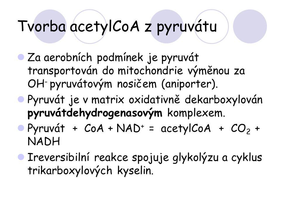Tvorba acetylCoA z pyruvátu Za aerobních podmínek je pyruvát transportován do mitochondrie výměnou za OH - pyruvátovým nosičem (aniporter). Pyruvát je