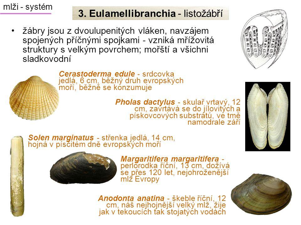 žábry jsou z dvoulupenitých vláken, navzájem spojených příčnými spojkami - vzniká mřížovitá struktury s velkým povrchem; mořští a všichni sladkovodní Pholas dactylus - skulař vrtavý, 12 cm, zavrtává se do jílovitých a pískovcových substrátů, ve tmě namodrale září Anodonta anatina - škeble říční, 12 cm, náš nejhojnější velký mlž, žije jak v tekoucích tak stojatých vodách Solen marginatus - střenka jedlá, 14 cm, hojná v písčitém dně evropských moří Margaritifera margaritifera - perlorodka říční, 13 cm, dožívá se přes 120 let, nejohroženější mlž Evropy Cerastoderma edule - srdcovka jedlá, 6 cm, běžný druh evropských moří, běžně se konzumuje mlži - systém 3.