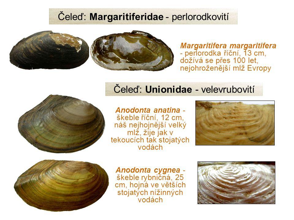Anodonta anatina - škeble říční, 12 cm, náš nejhojnější velký mlž, žije jak v tekoucích tak stojatých vodách Margaritifera margaritifera - perlorodka říční, 13 cm, dožívá se přes 100 let, nejohroženější mlž Evropy Čeleď: Margaritiferidae - perlorodkovití Anodonta cygnea - škeble rybničná, 25 cm, hojná ve větších stojatých nížinných vodách Čeleď: Unionidae - velevrubovití