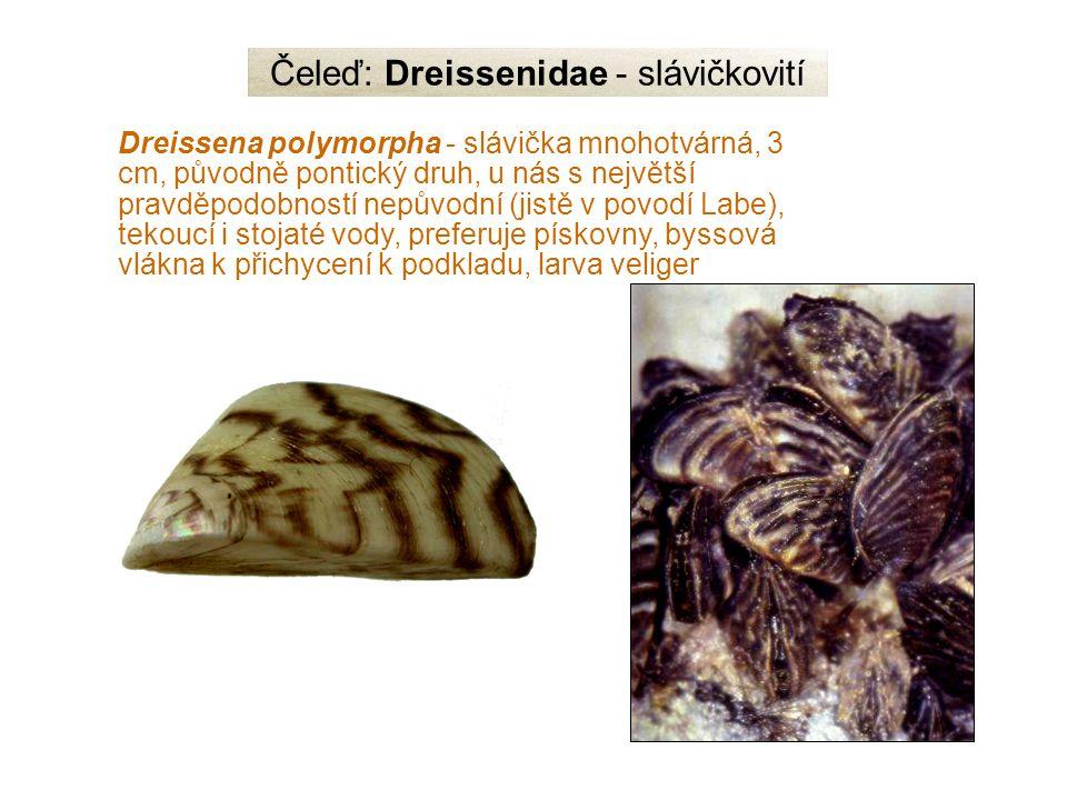 Čeleď: Dreissenidae - slávičkovití Dreissena polymorpha - slávička mnohotvárná, 3 cm, původně pontický druh, u nás s největší pravděpodobností nepůvodní (jistě v povodí Labe), tekoucí i stojaté vody, preferuje pískovny, byssová vlákna k přichycení k podkladu, larva veliger