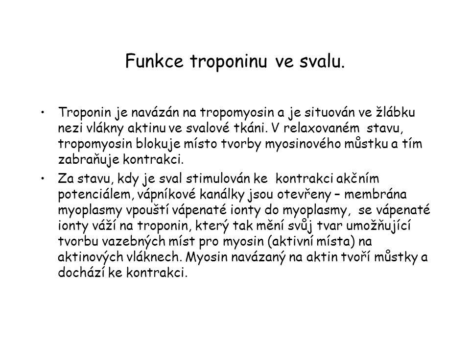 Funkce troponinu ve svalu. Troponin je navázán na tropomyosin a je situován ve žlábku nezi vlákny aktinu ve svalové tkáni. V relaxovaném stavu, tropom