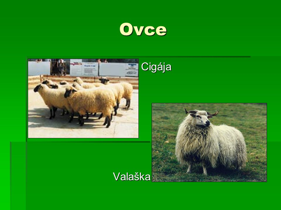 Ovce CigájaValaška