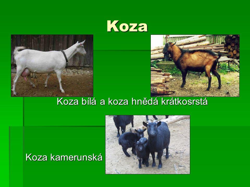 Koza Koza bílá a koza hnědá krátkosrstá Koza kamerunská