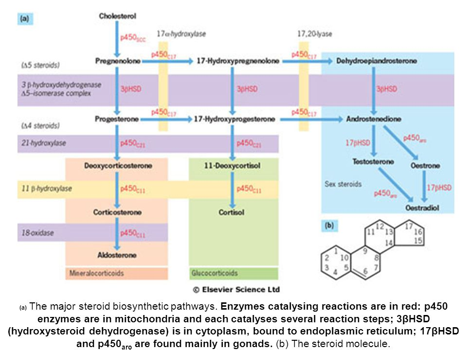 (a) The major steroid biosynthetic pathways.