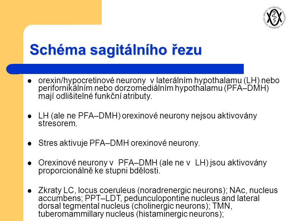 Schéma sagitálního řezu orexin/hypocretinové neurony v laterálním hypothalamu (LH) nebo perifornikálním nebo dorzomediálním hypothalamu (PFA–DMH) mají