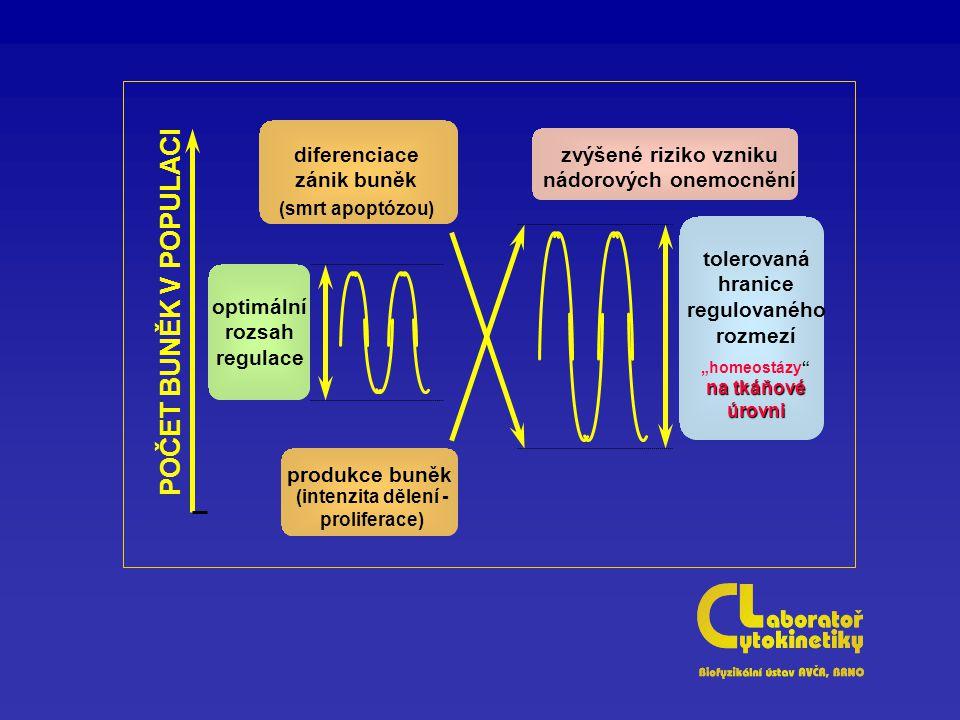 """optimální rozsah regulace tolerovaná hranice regulovaného rozmezí na tkáňové úrovni """"homeostázy na tkáňové úrovni diferenciace zánik buněk (smrt apoptózou) produkce buněk (intenzita dělení - proliferace) zvýšené riziko vzniku nádorových onemocnění POČET BUNĚK V POPULACI"""