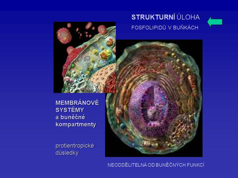 MEMBRÁNOVÉSYSTÉMY a buněčné kompartmentyprotientropickédůsledky STRUKTURNÍ ÚLOHA FOSFOLIPIDŮ V BUŇKÁCH NEODDĚLITELNÁ OD BUNĚČNÝCH FUNKCÍ