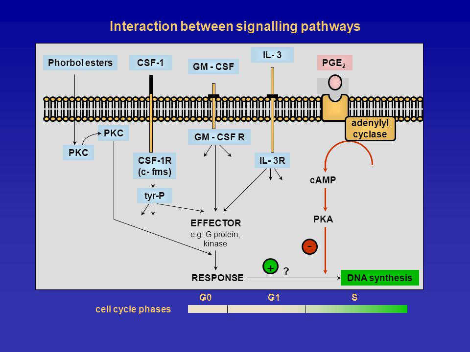 Interaction between signalling pathways cell cycle phases e.g.