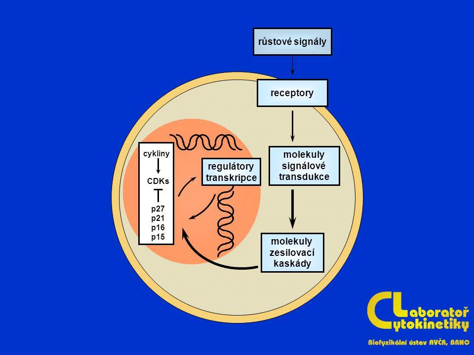 receptory růstové signály molekuly signálové transdukce molekuly zesilovací kaskády regulátory transkripce cykliny CDKs p27 p21 p16 p15