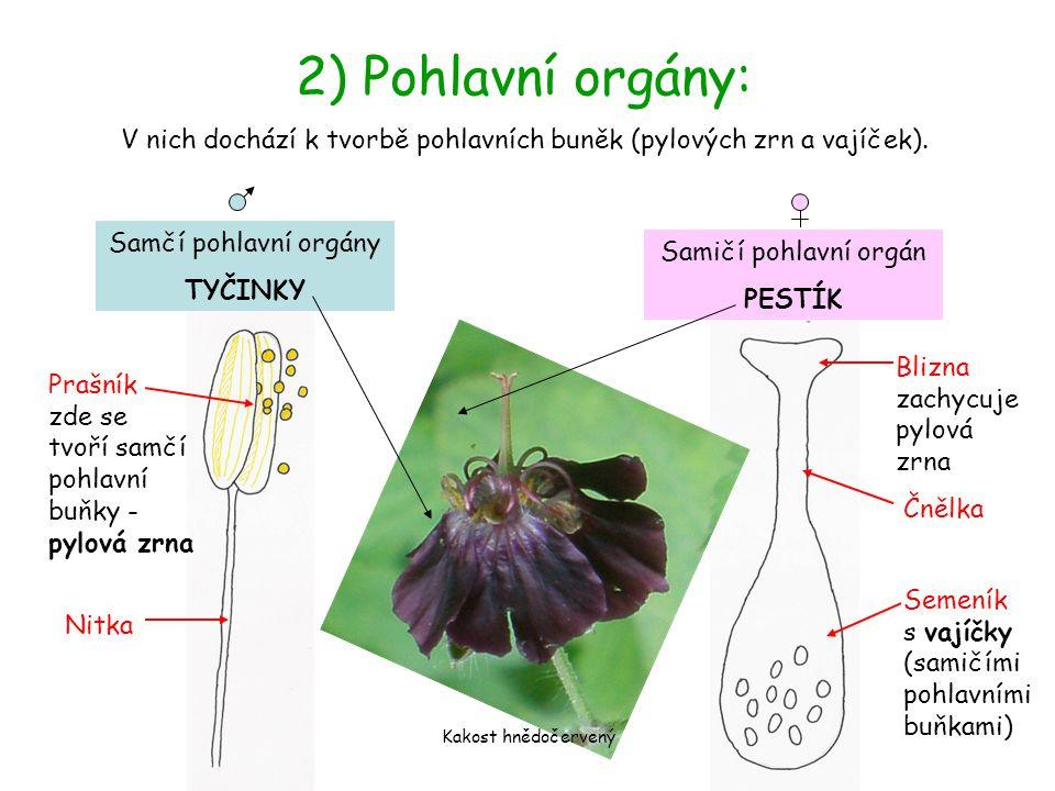 V nich dochází k tvorbě pohlavních buněk (pylových zrn a vajíček). 2) Pohlavní orgány: Samčí pohlavní orgány TYČINKY Prašník zde se tvoří samčí pohlav