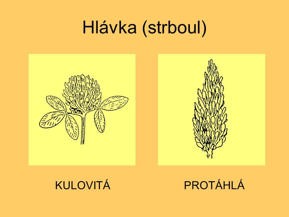 Hlávka (strboul) KULOVITÁ PROTÁHLÁ