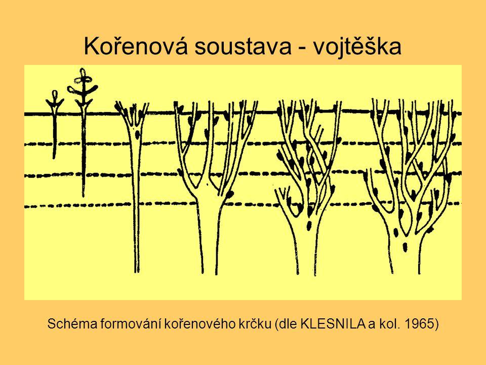 Kořenová soustava - vojtěška Schéma formování kořenového krčku (dle KLESNILA a kol. 1965)