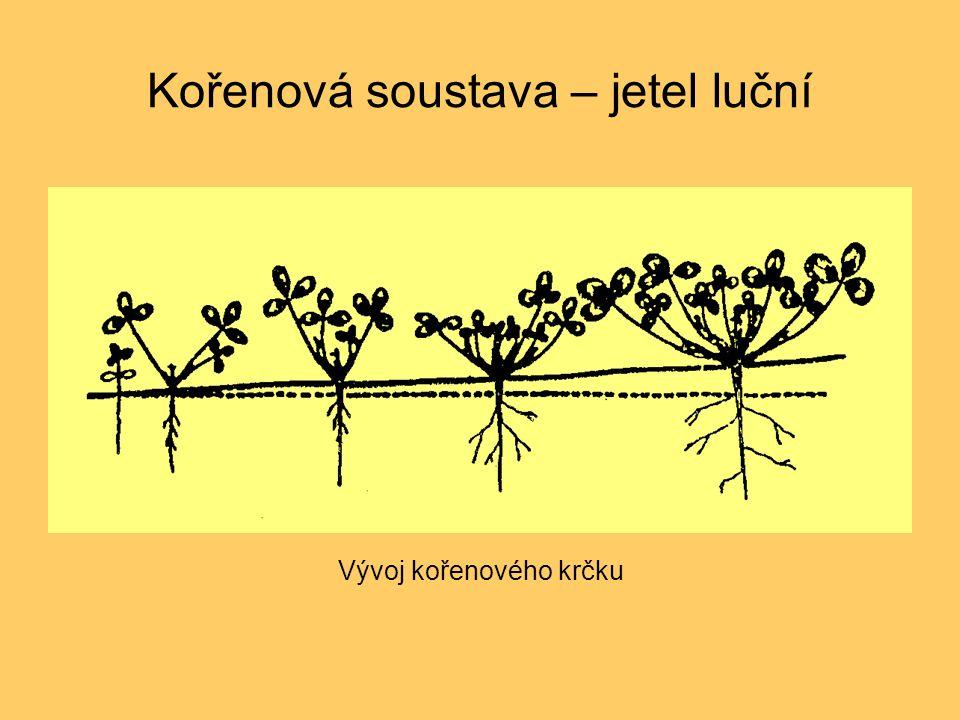 Kořenová soustava – jetel luční Vývoj kořenového krčku