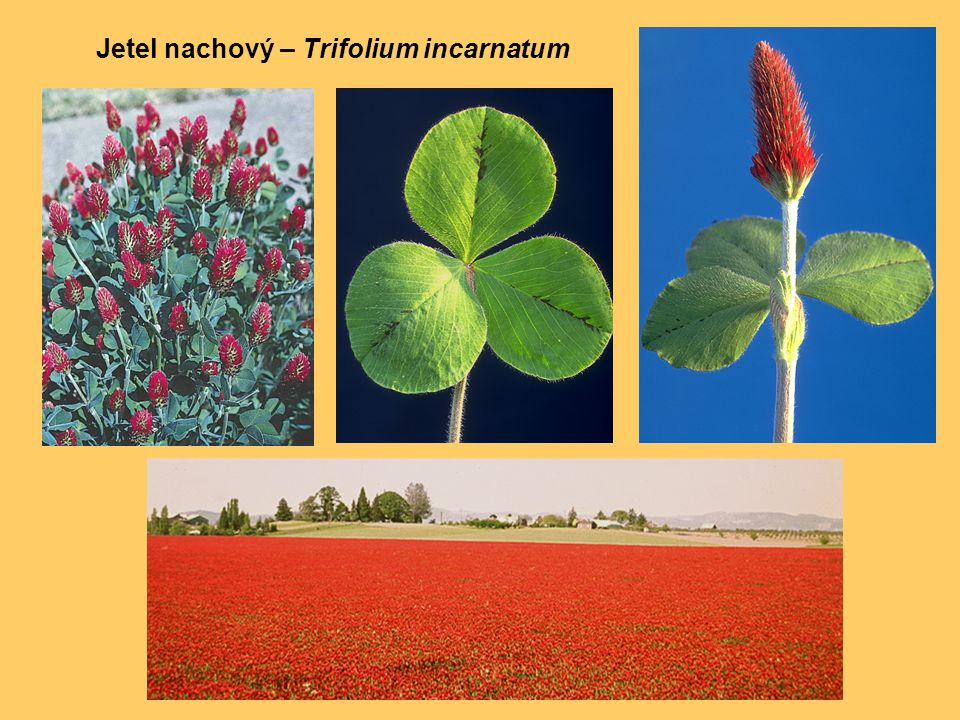 Jetel nachový – Trifolium incarnatum