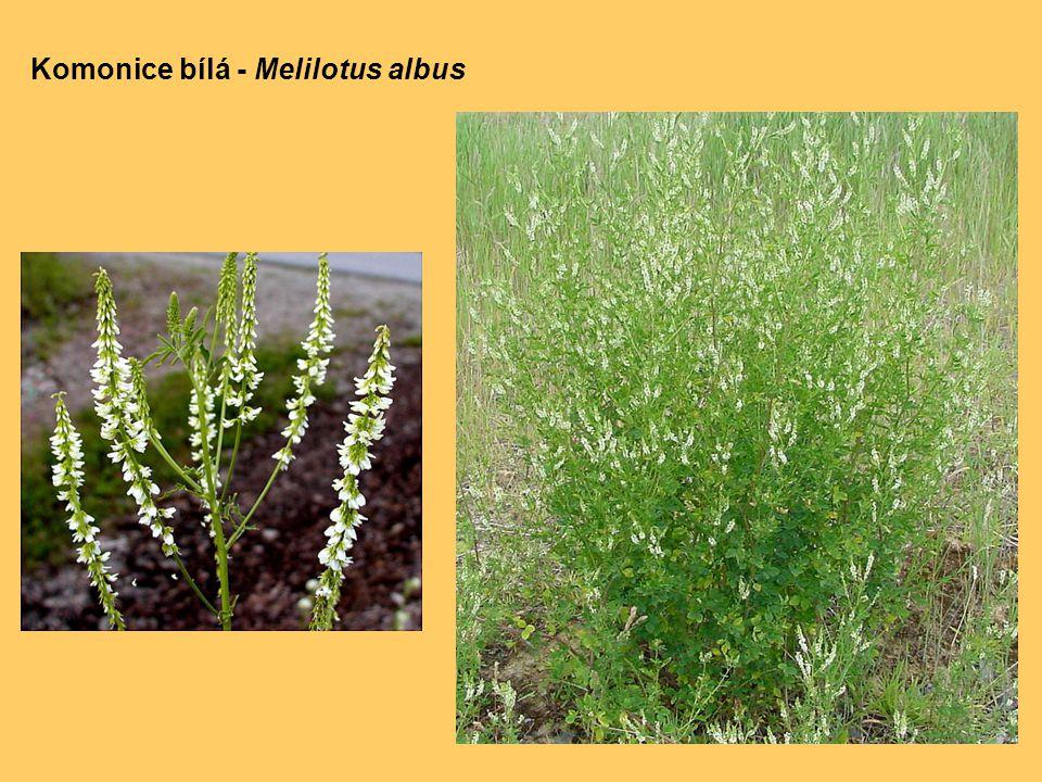 Komonice bílá - Melilotus albus