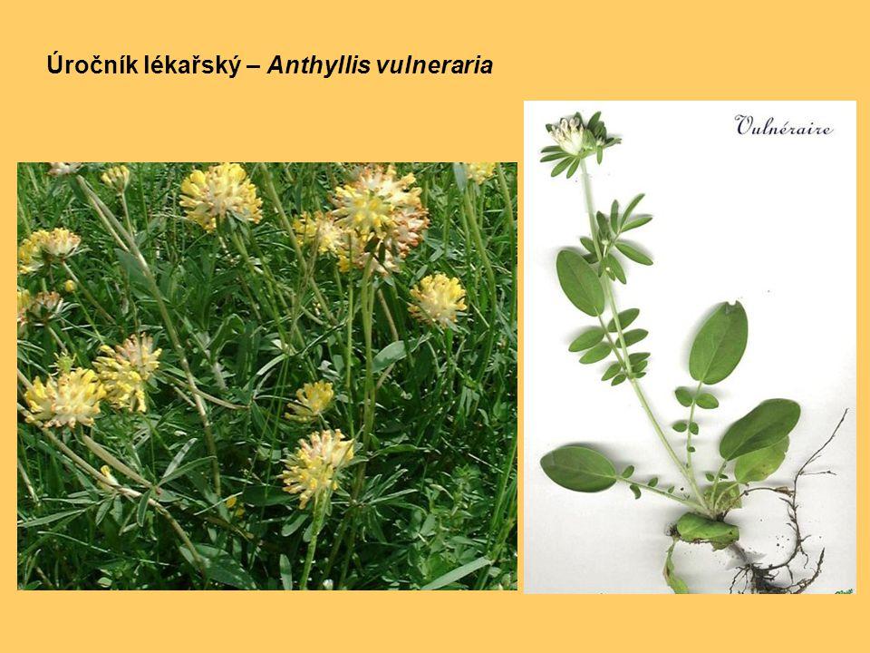 Úročník lékařský – Anthyllis vulneraria
