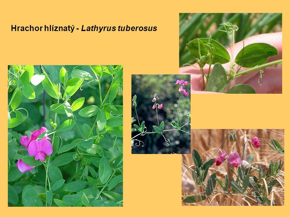 Hrachor hlíznatý - Lathyrus tuberosus