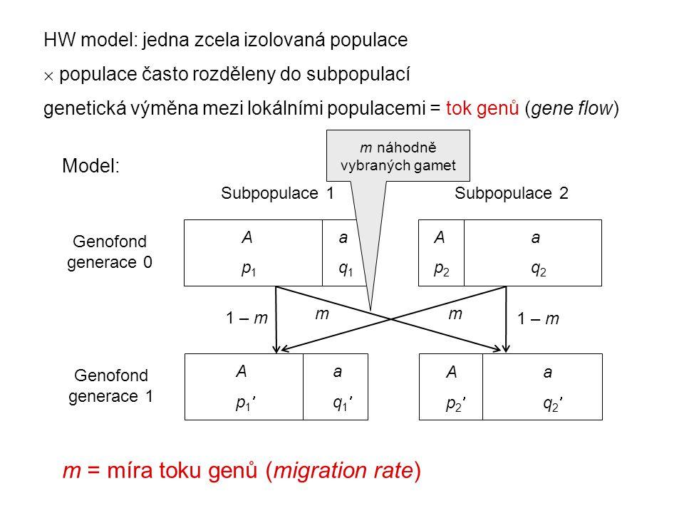 HW model: jedna zcela izolovaná populace  populace často rozděleny do subpopulací genetická výměna mezi lokálními populacemi = tok genů (gene flow) A a p 1 q 1 Subpopulace 1Subpopulace 2 Genofond generace 0 A a p 2 q 2 A a p 1 q 1 A a p 2 q 2 Genofond generace 1 1 – m mm Model: m = míra toku genů (migration rate) m náhodně vybraných gamet