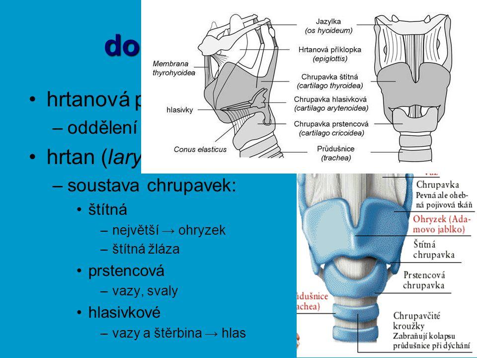 dolní cesty dýchací hrtanová příklopka (epiglotis) –oddělení TS a DS hrtan (larynx) –soustava chrupavek: štítná –největší → ohryzek –štítná žláza prst