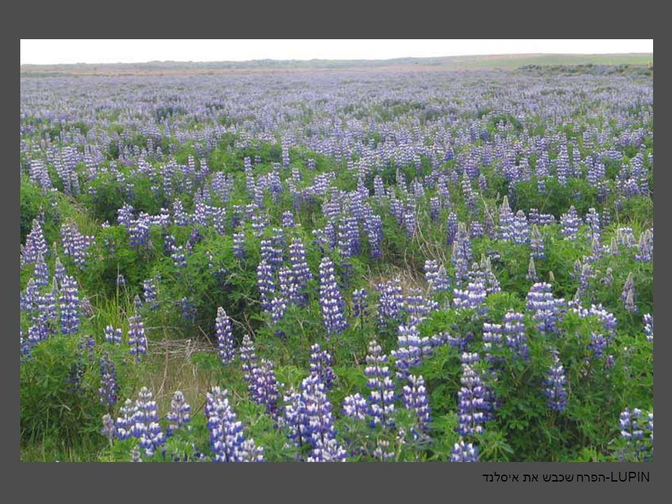 LUPIN-הפרח שכבש את איסלנד
