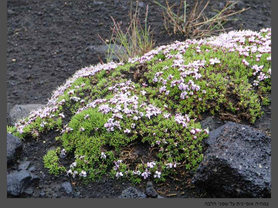 צמחיה אופיינית על שפכי הלבה