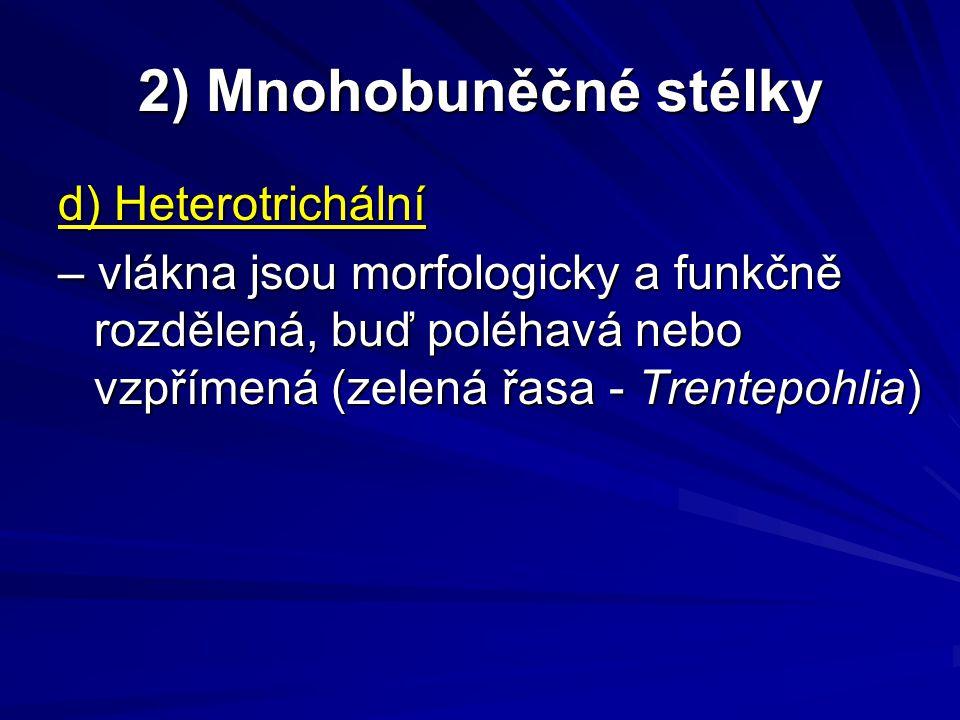 2) Mnohobuněčné stélky d) Heterotrichální – vlákna jsou morfologicky a funkčně rozdělená, buď poléhavá nebo vzpřímená (zelená řasa - Trentepohlia)