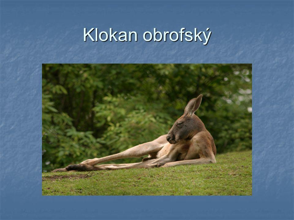 Klokan obrofský je největší z vačnatců je největší z vačnatců velký až 3 metry (i s ocasem) velký až 3 metry (i s ocasem) váží přes 80kg váží přes 80k