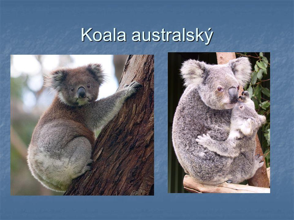 Koala australský známý také jako medvídek koala hmotnost: 4 - 12 kg délka těla: 70 - 90 cm koaly byly téměř vyhubeny člověkem, který je lovil hlavně kvůli kožešině mládě je kojeno, ale také pojídá matčiny výkaly Výskyt: východní pobřeží Austrálie