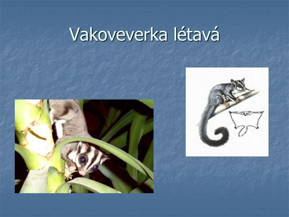 Vakoveverka létavá Malé zvířátko kolem 30 cm Malé zvířátko kolem 30 cm Z toho téměř 2/3 připadají ocasu Z toho téměř 2/3 připadají ocasu Při příznivých podmínkách překoná vzdálenost až 50 m Při příznivých podmínkách překoná vzdálenost až 50 m