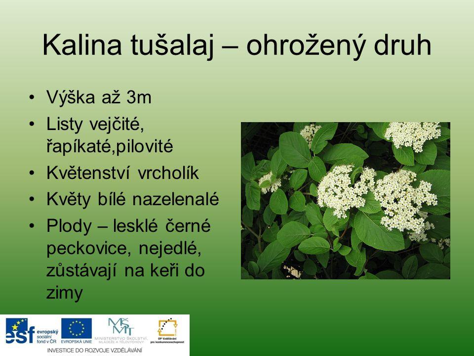 Kalina tušalaj – ohrožený druh Výška až 3m Listy vejčité, řapíkaté,pilovité Květenství vrcholík Květy bílé nazelenalé Plody – lesklé černé peckovice, nejedlé, zůstávají na keři do zimy