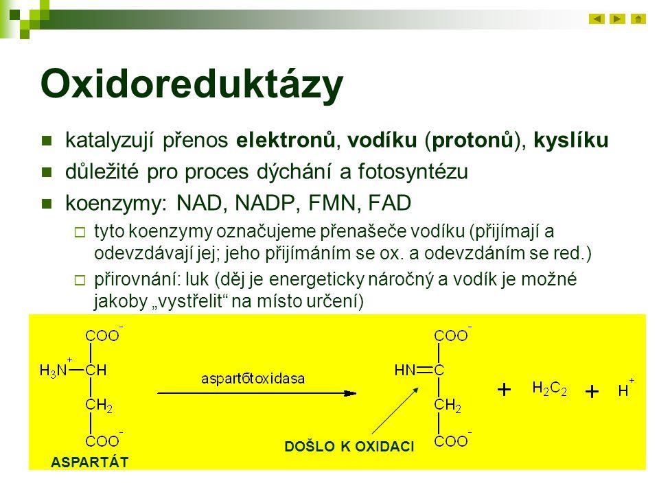 Oxidoreduktázy katalyzují přenos elektronů, vodíku (protonů), kyslíku důležité pro proces dýchání a fotosyntézu koenzymy: NAD, NADP, FMN, FAD  tyto koenzymy označujeme přenašeče vodíku (přijímají a odevzdávají jej; jeho přijímáním se ox.