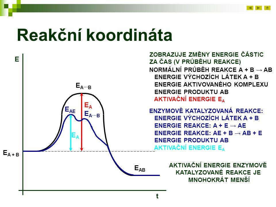 Reakční koordináta ZOBRAZUJE ZMĚNY ENERGIE ČÁSTIC ZA ČAS (V PRŮBĚHU REAKCE) E t NORMÁLNÍ PRŮBĚH REAKCE A + B → AB ENERGIE VÝCHOZÍCH LÁTEK A + B ENERGIE AKTIVOVANÉHO KOMPLEXU ENERGIE PRODUKTU AB AKTIVAČNÍ ENERGIE E A E A + B EA…BEA…B E AB EAEA ENZYMOVĚ KATALYZOVANÁ REAKCE: ENERGIE VÝCHOZÍCH LÁTEK A + B ENERGIE REAKCE: A + E → AE ENERGIE REAKCE: AE + B → AB + E ENERGIE PRODUKTU AB AKTIVAČNÍ ENERGIE E A E AE EA…BEA…B EAEA AKTIVAČNÍ ENERGIE ENZYMOVĚ KATALYZOVANÉ REAKCE JE MNOHOKRÁT MENŠÍ