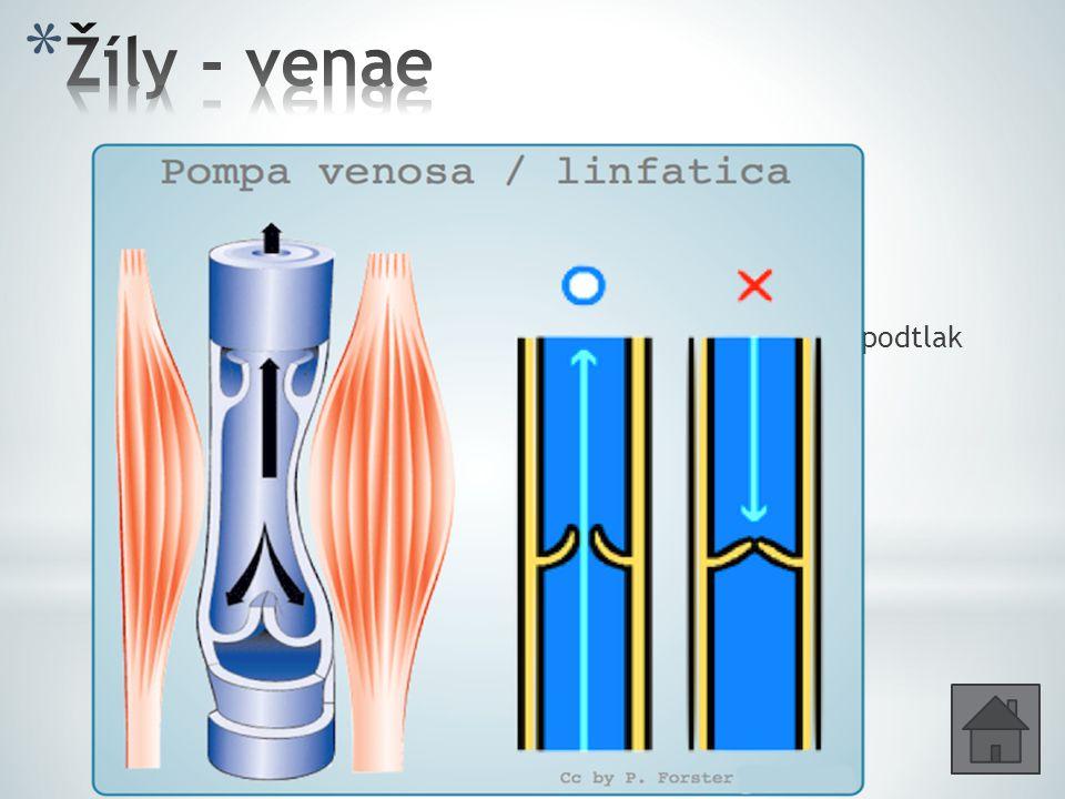 Stěny stejné vrstvy jako tepny, ale tenčí. Krev z vlásečnic do srdce. Pohybu krve pomáhá gravitace, svalové kontrakce, podtlak při vdechu. Kapsovité c