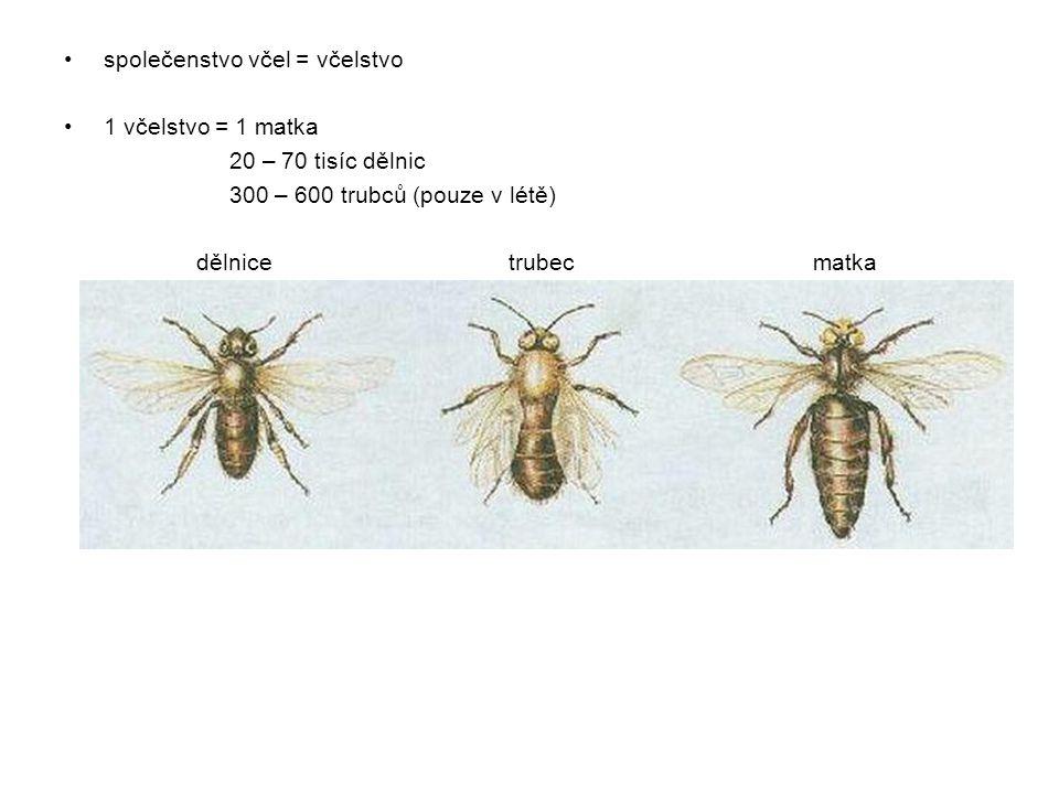 matka: klade vajíčka dělnice: krmí larvy, staví voskové plásty, uklízí, přináší potravu trubec: oplodňují matku (na podzim jsou vyhnáni z úlu) Vývin včely medonosné: -z neoplozených vajíček se líhnou trubci -z oplozených vajíček se líhnou dělnice nebo matka -vývin = proměna 1.vajíčko 2.larva 3.kukla 4.dospělý jedinec (dospělec) - vývin nepřímý = pokud je ve vývinu stádium larvy