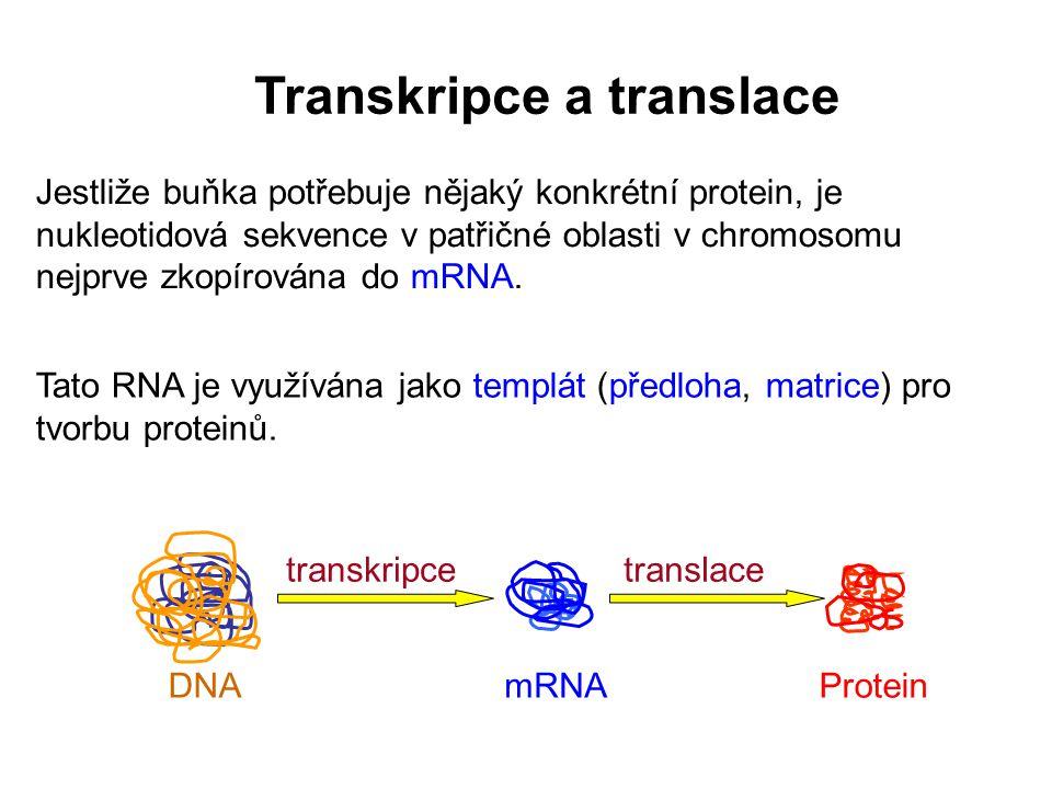 Transkripce a translace Jestliže buňka potřebuje nějaký konkrétní protein, je nukleotidová sekvence v patřičné oblasti v chromosomu nejprve zkopírován