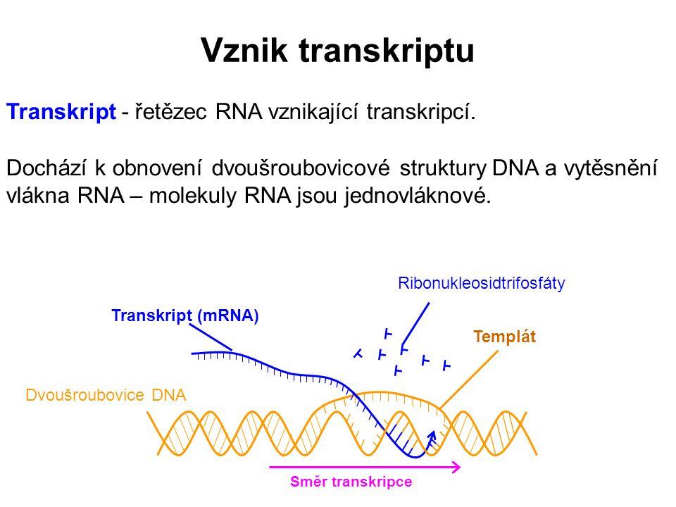 Dvoušroubovice DNA Templát Transkript (mRNA) Ribonukleosidtrifosfáty Směr transkripce Vznik transkriptu Transkript - řetězec RNA vznikající transkripc
