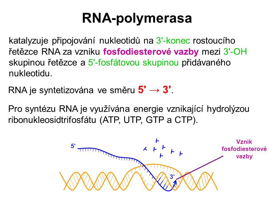 RNA-polymerasa Pro syntézu RNA je využívána energie vznikající hydrolýzou ribonukleosidtrifosfátu (ATP, UTP, GTP a CTP). Vznik fosfodiesterové vazby R