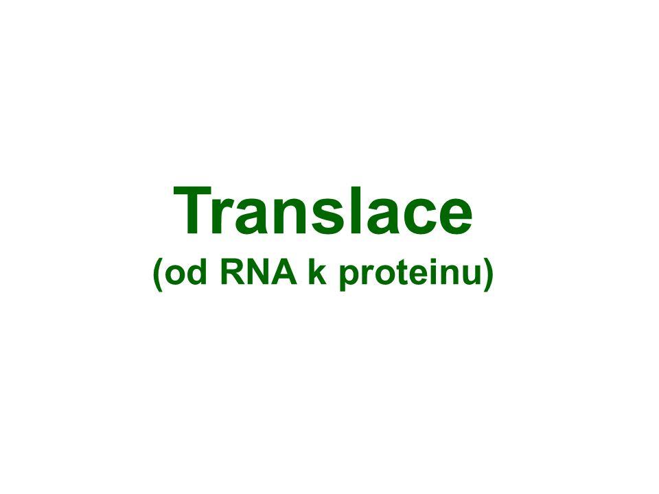 Translace (od RNA k proteinu)