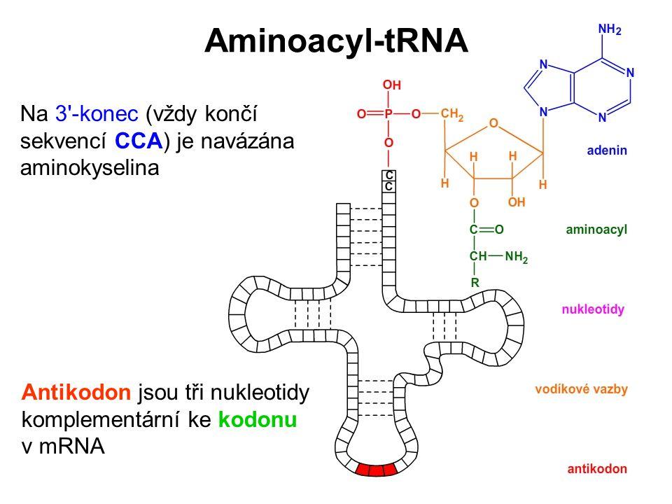 Antikodon jsou tři nukleotidy komplementární ke kodonu v mRNA Na 3'-konec (vždy končí sekvencí CCA) je navázána aminokyselina Aminoacyl-tRNA