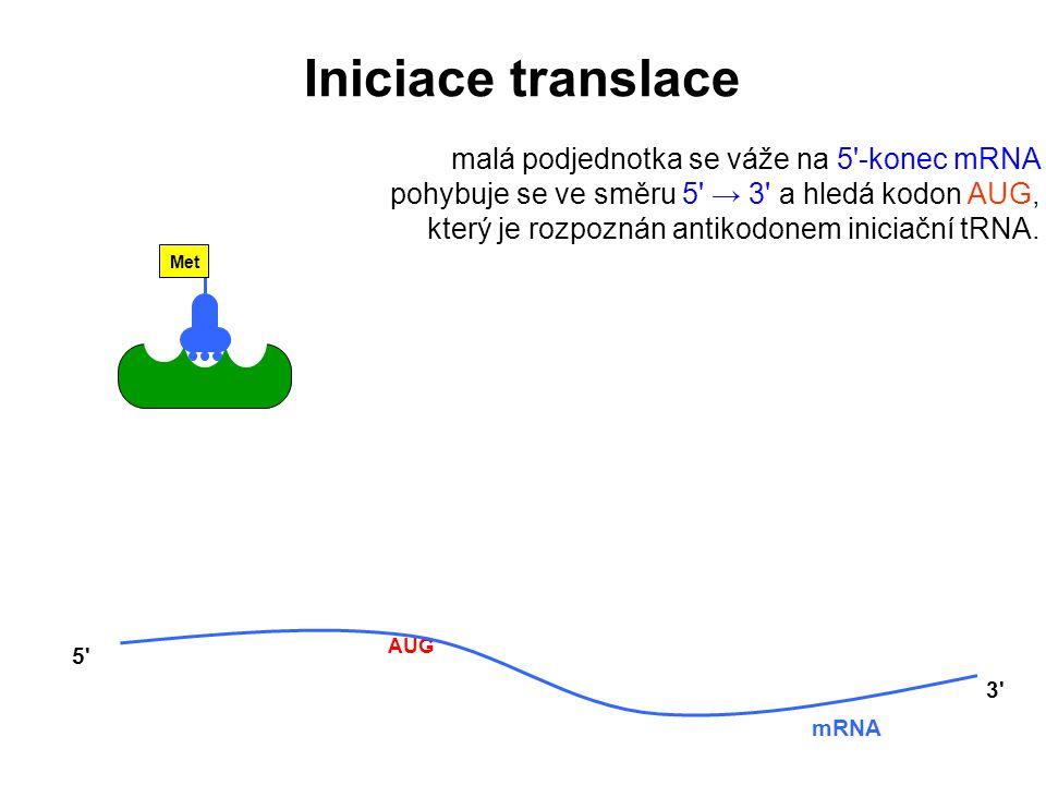 Met AUG mRNA 5' 3' malá podjednotka se váže na 5'-konec mRNA pohybuje se ve směru 5' → 3' a hledá kodon AUG, který je rozpoznán antikodonem iniciační