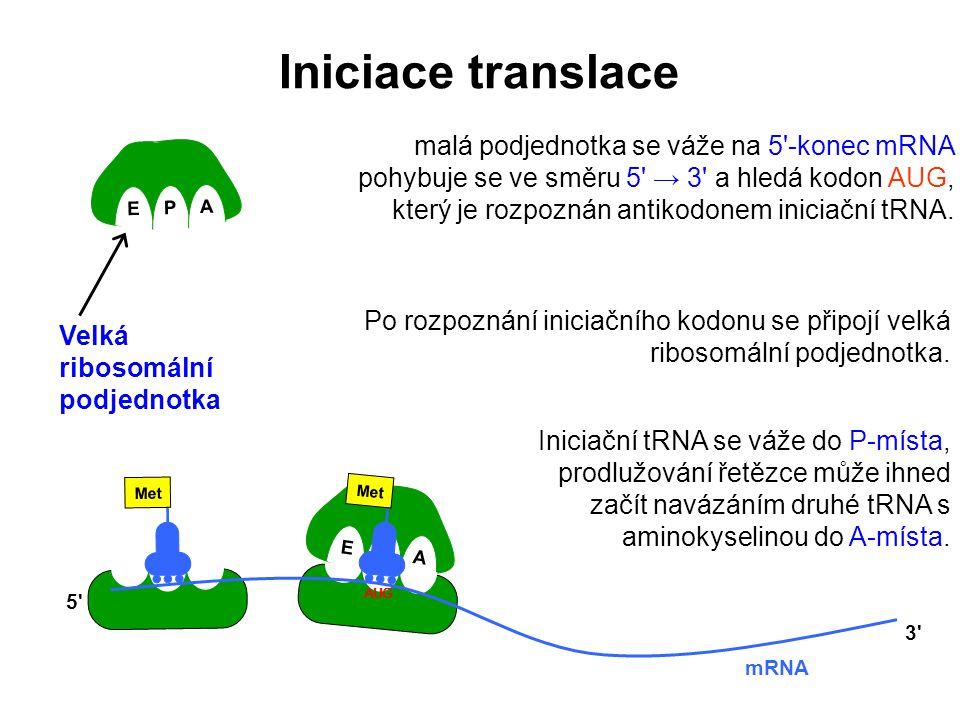 E P A E P A Met AUG Po rozpoznání iniciačního kodonu se připojí velká ribosomální podjednotka. AUG Iniciační tRNA se váže do P-místa, prodlužování řet