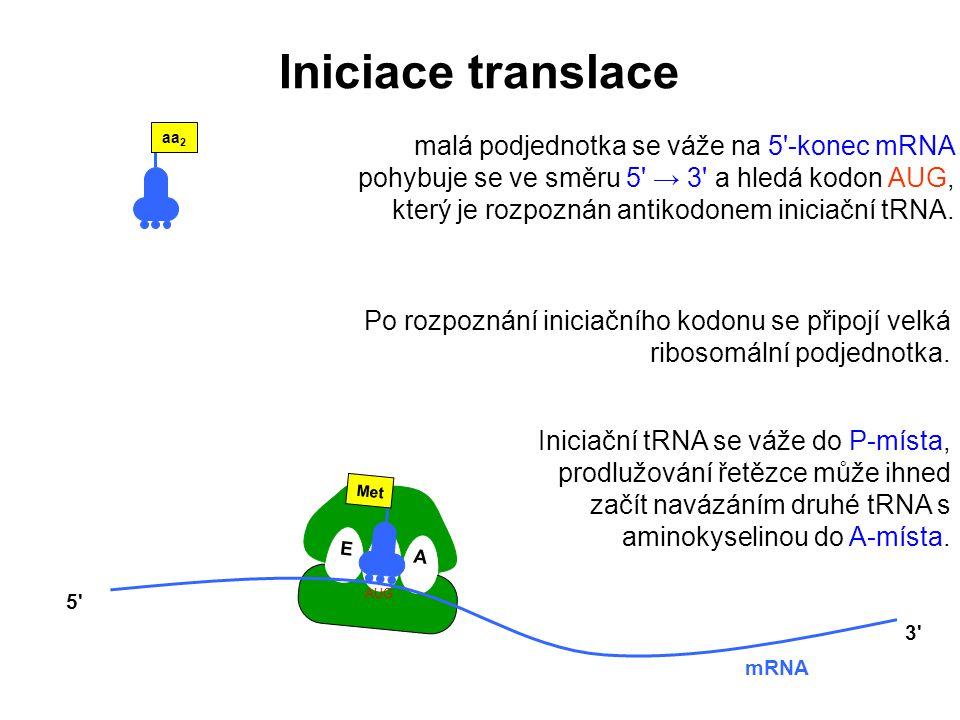 E P A Met AUG mRNA 5' 3' aa 2 Po rozpoznání iniciačního kodonu se připojí velká ribosomální podjednotka. Iniciační tRNA se váže do P-místa, prodlužová