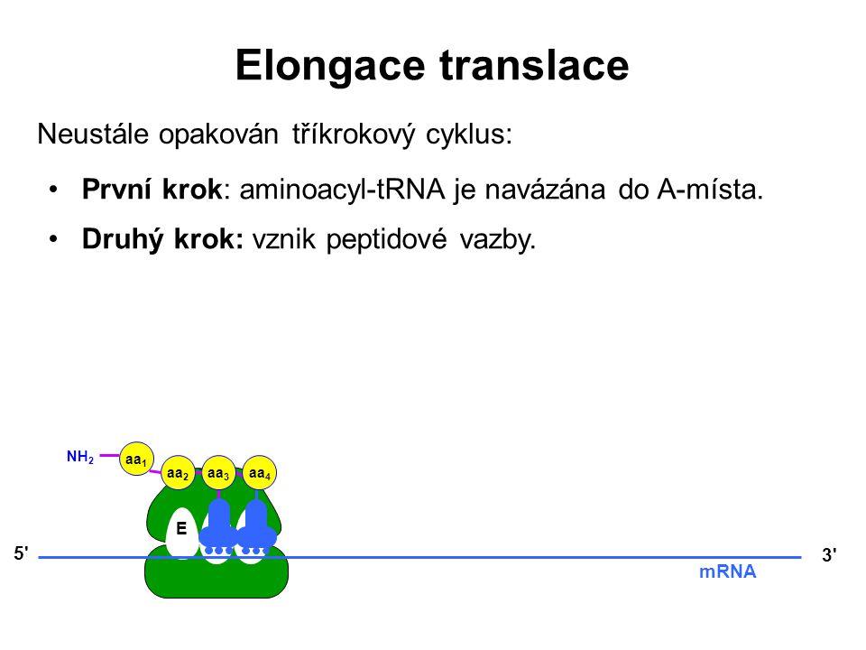 EPA 5' 3' mRNA aa 3 aa 2 aa 1 NH 2 aa 4 Elongace translace Neustále opakován tříkrokový cyklus: První krok: aminoacyl-tRNA je navázána do A-místa. Dru