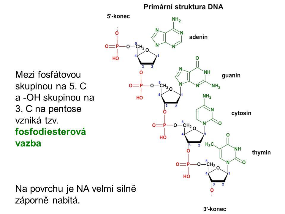 Mezi fosfátovou skupinou na 5. C a -OH skupinou na 3. C na pentose vzniká tzv. fosfodiesterová vazba Na povrchu je NA velmi silně záporně nabitá.