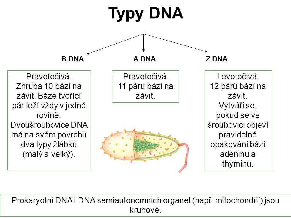 Typy DNA B DNAA DNA Z DNA Pravotočivá. Zhruba 10 bází na závit. Báze tvořící pár leží vždy v jedné rovině. Dvoušroubovice DNA má na svém povrchu dva t