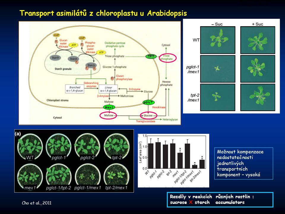 Transport asimilátů z chloroplastu u Arabidopsis Zdrojová buňka pGlcT Mex1 TPT Možnost kompenzace nedostatečnosti jednotlivých transportních komponent