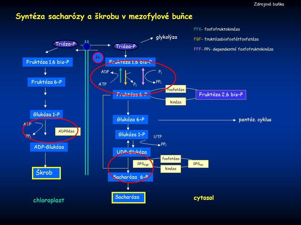 Syntéza sacharózy a škrobu v mezofylové buňce cytosol Škrob ADP glykolýza Trióza-P Pi Fruktóza 1,6 bis-P Sacharóza 6-P Sacharóza ADPGáza Glukóza 1-P U