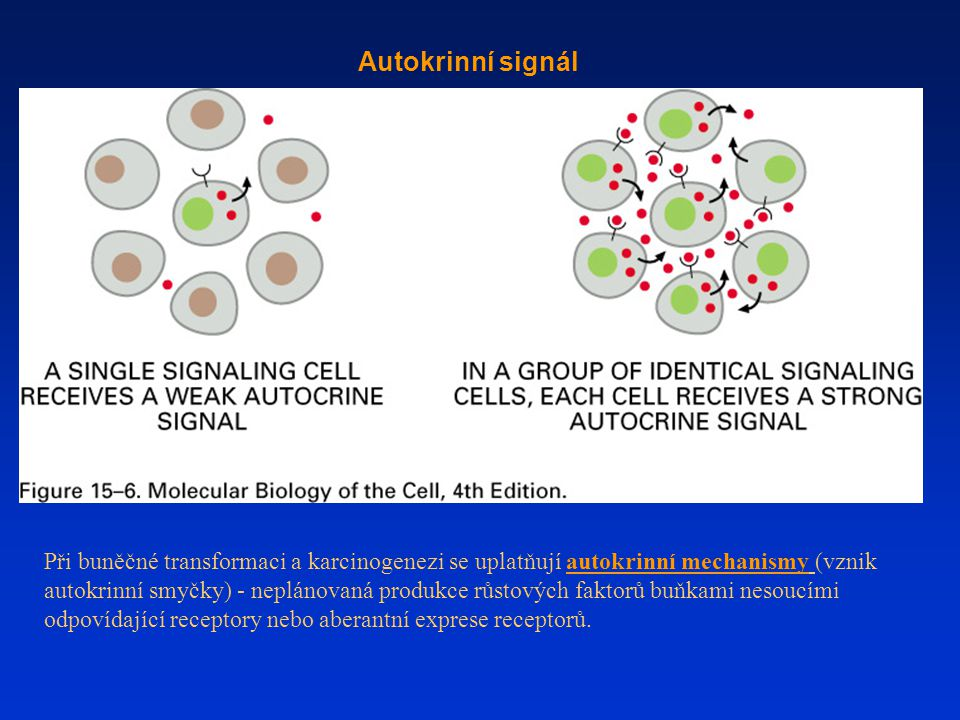 Autokrinní signál Při buněčné transformaci a karcinogenezi se uplatňují autokrinní mechanismy (vznik autokrinní smyčky) - neplánovaná produkce růstových faktorů buňkami nesoucími odpovídající receptory nebo aberantní exprese receptorů.