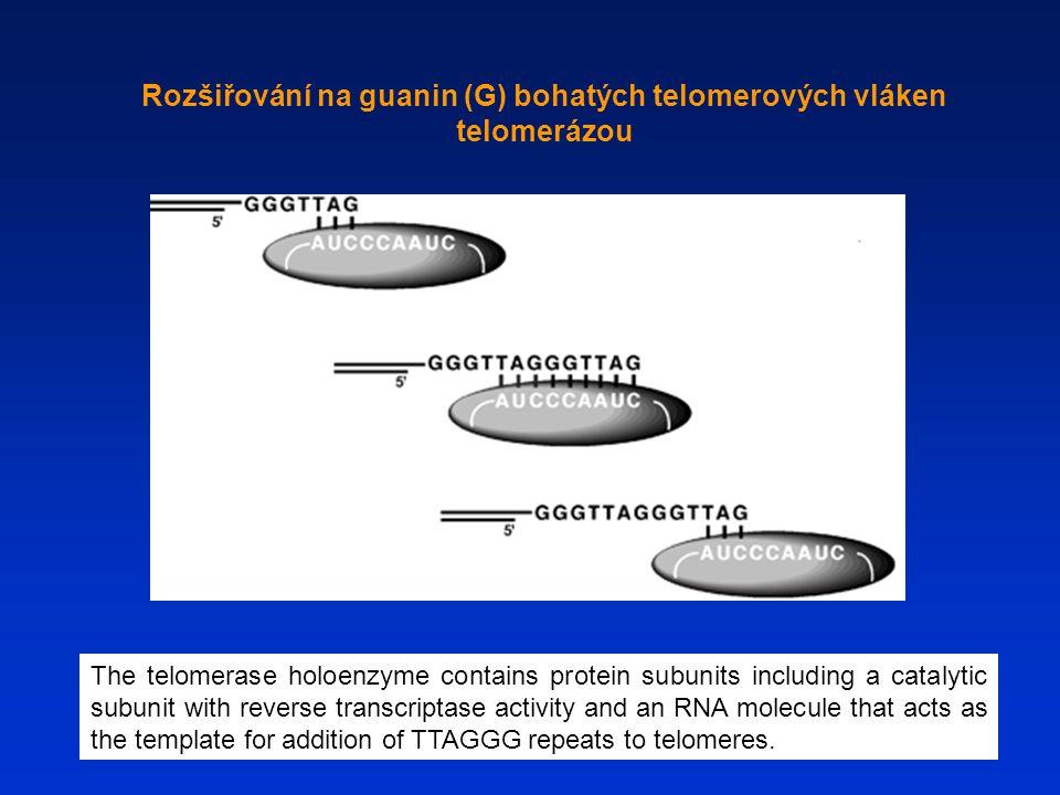 Rozšiřování na guanin (G) bohatých telomerových vláken telomerázou The telomerase holoenzyme contains protein subunits including a catalytic subunit w