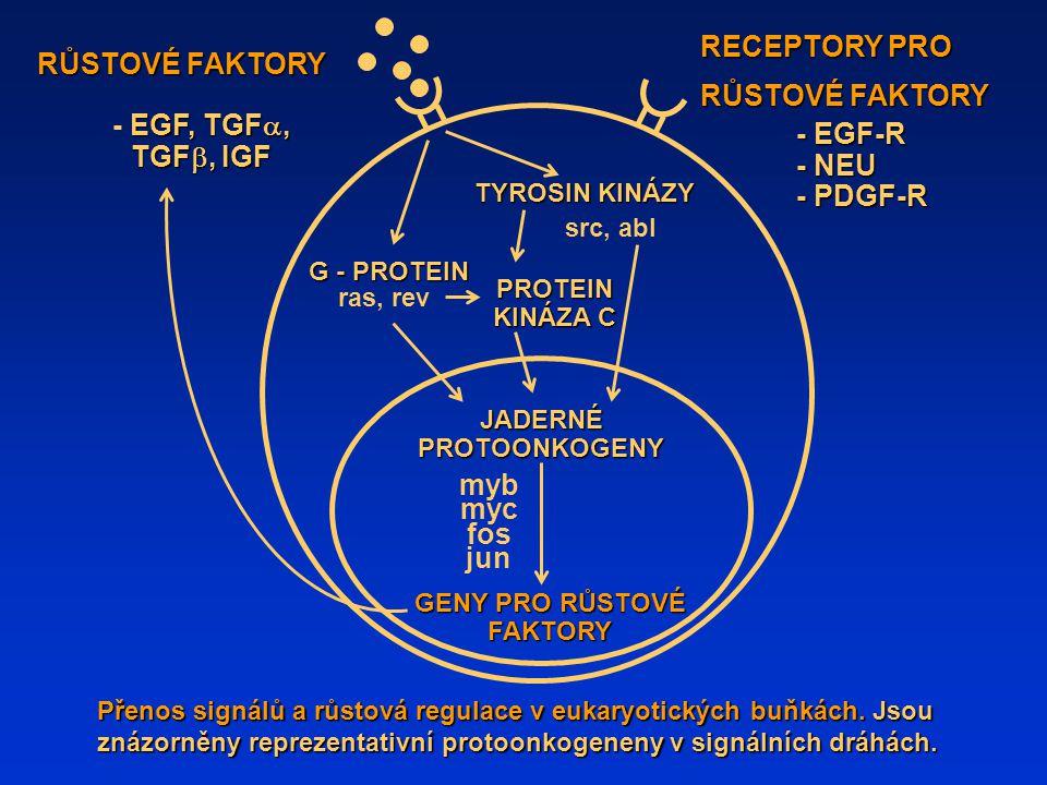 ONKOGENY a ANTI-ONKOGENY Externí signály Přenos externích signálů Jaderné děje Růstové faktory Transmembránové receptory Tyrosinové kinázy GTP-vazebné proteiny Serine - treoninové kinázy Replikace DNA METABOLICKÁ ODPOVĚĎ Onkogeny a anti-onkogeny: hlavní funkční skupiny onkogenních proteinů a jejich pravděpodobná vnitrobuněčná lokalizace.